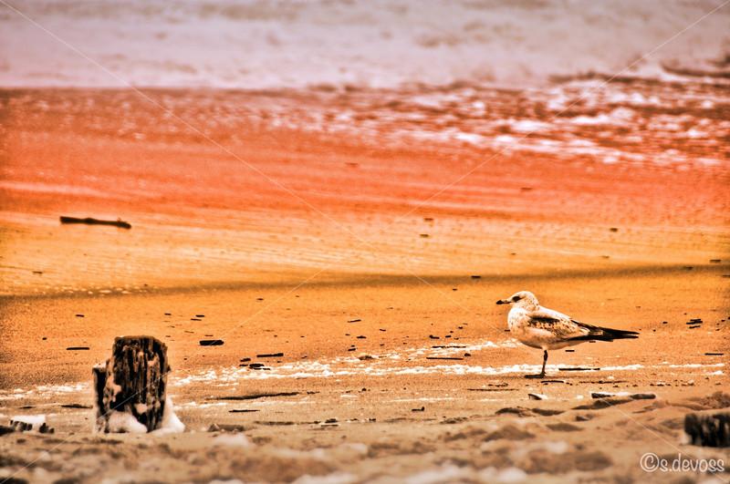 beachseagull_0058HDR Wmark.jpg