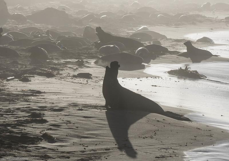 Elephant seals, Big Sur California