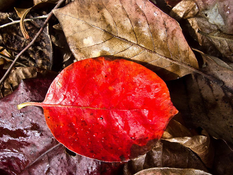 Just a red leaf, getting recycled.