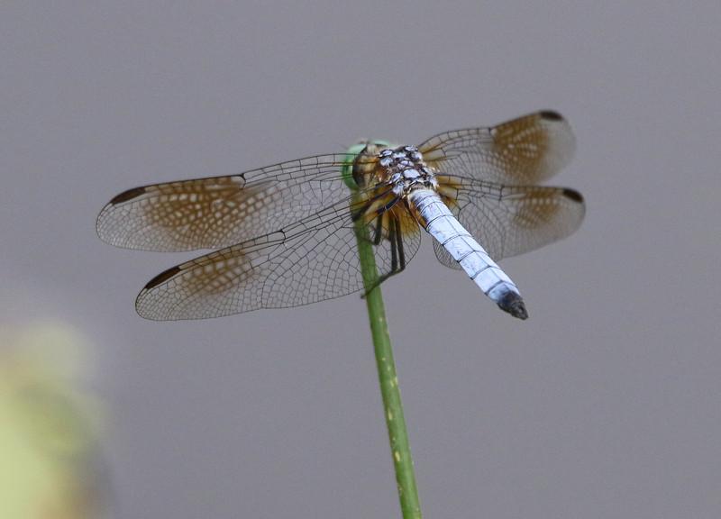 dragon fly 7.jpg