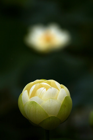 Lotus / Water Lilly