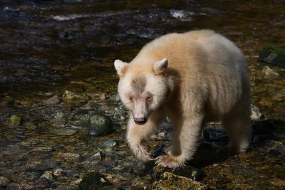 Spirit Bears and the Great Bear Rainforest