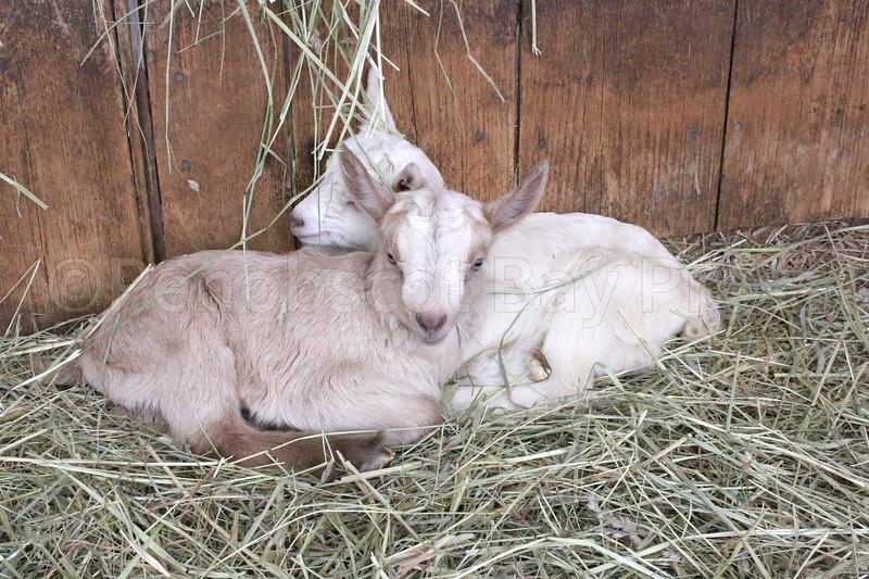 IA Yellow Birch Farm babies cuddling 033017 ML.jpg
