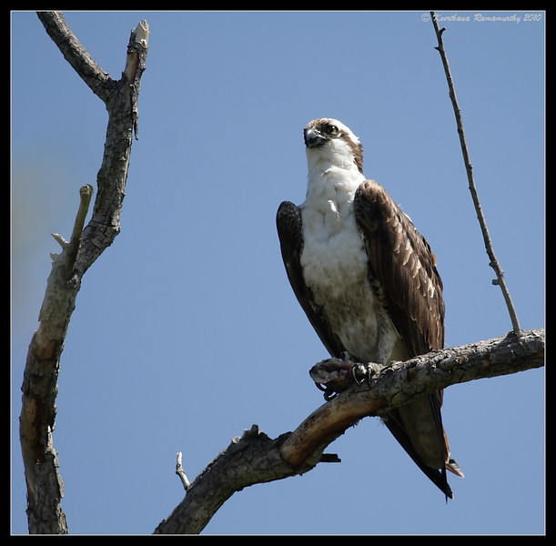 Osprey, San Joaquin Marsh, Orange County, Los Angeles, California, May 2010
