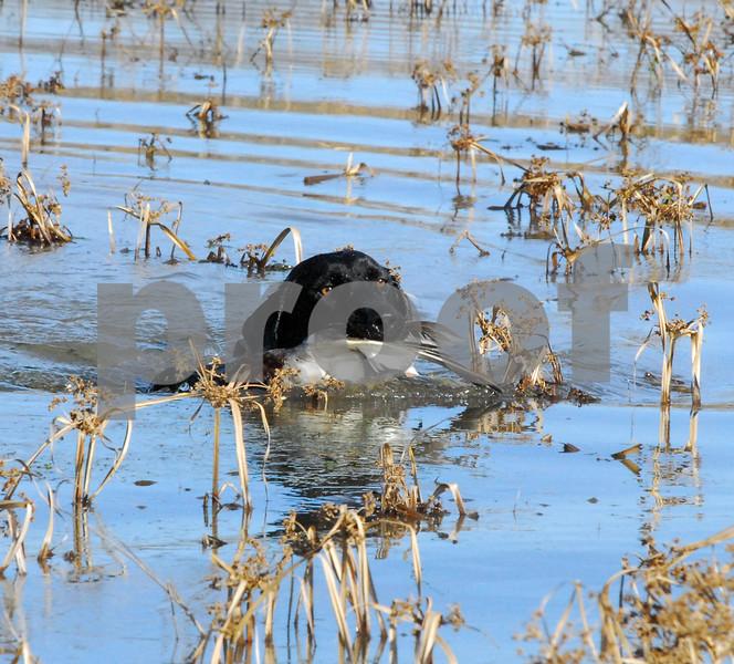 Leer & amp; Reacciona: ¿Están cambiando los patrones de migración de los patos? Aves salvajes