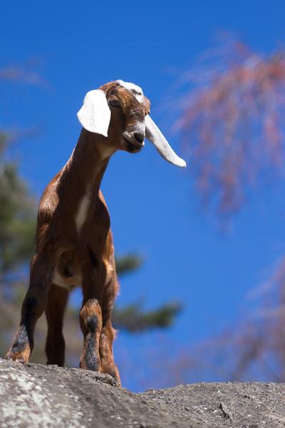 ANI101 Baby Goat.jpg