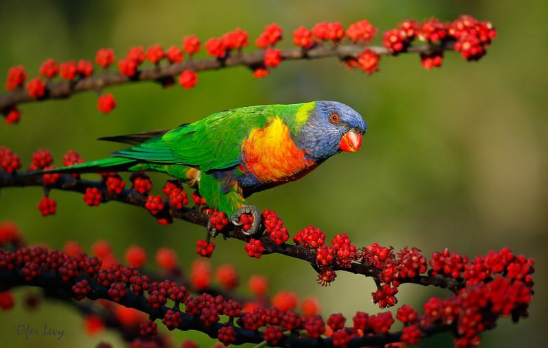 Rainbow Lorikeet 1.jpg