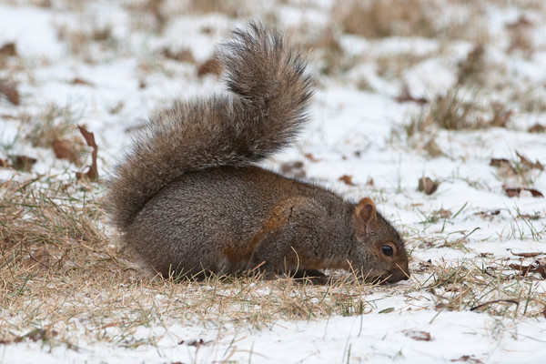 Gray Squirrel - Dunning Lake - Itasca County, MN