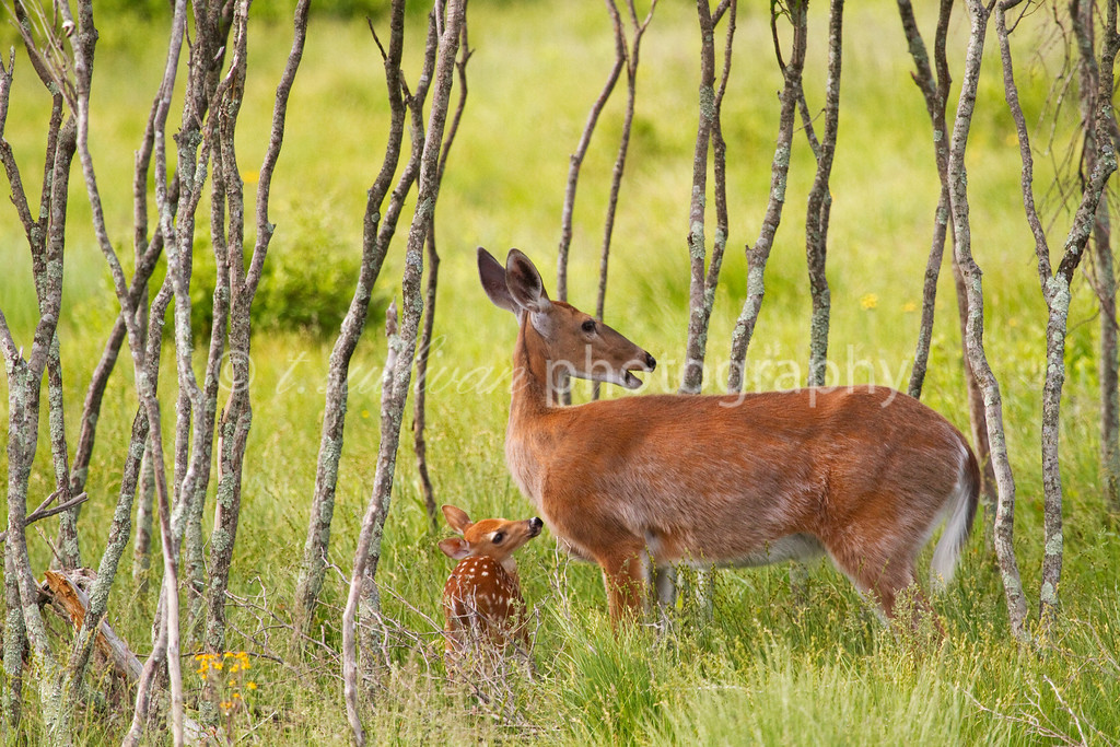White-tailed deer and her fawn at Big Meadows in Shenandoah National Park