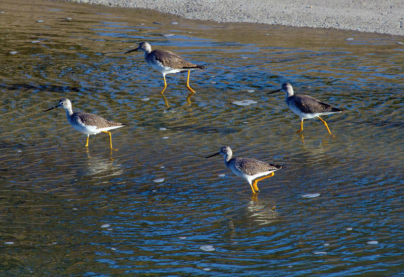 Marching greater yellow legs in Brays Bayou, Houston