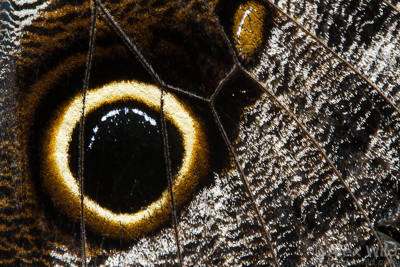 A close-up view of  a Caligo memnon owl butterfly hindwing reveals the scales that create this tropical insect's distinct eyespots.   Green Hills Butterfly Ranch, Cayo District, Belize