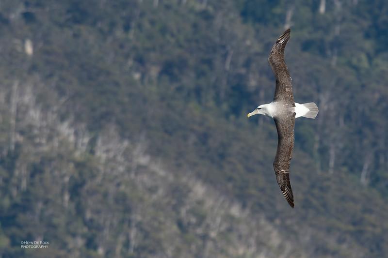 Shy Albatross, Eaglehawk Neck Pelagic, TAS, Dec 2019-1.jpg