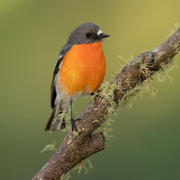 Flame Robin male