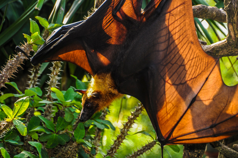 Bali Bats-11.jpg