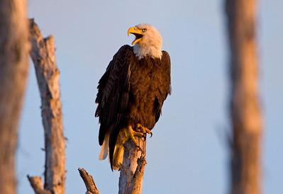 2010 - Bald Eagles of Pembroke Pines, FL