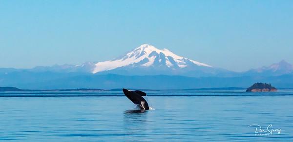 Orca Whales of San Juan Islands,  Washington