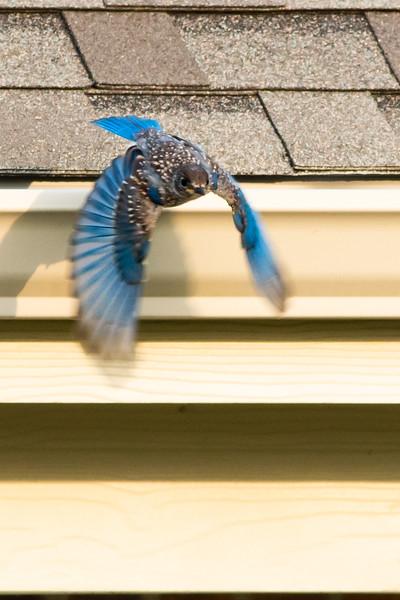 Blue Bird-00776.jpg