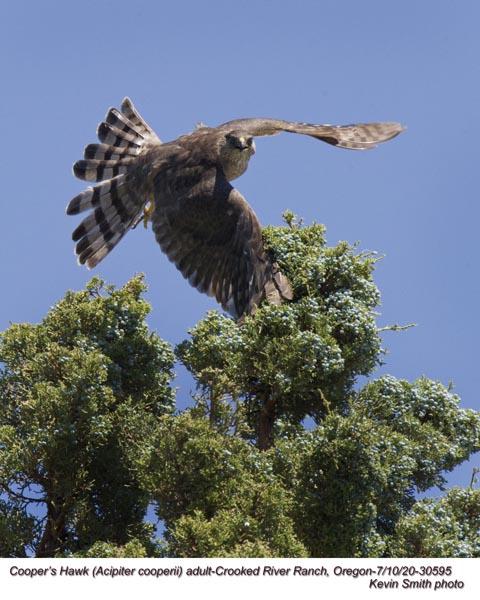 Cooper's Hawk A30595.jpg