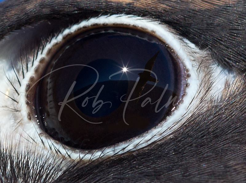 Peregrine Falcon Eye with reflection of flying Peregrine (Composite image)
