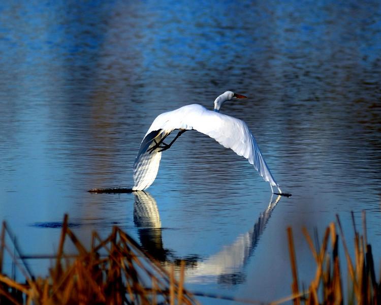 White Heron Wingtips in water.jpg