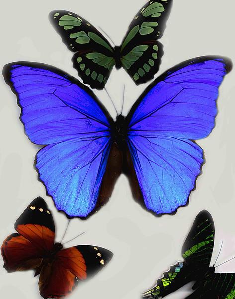 Butterfly blue  .jpg