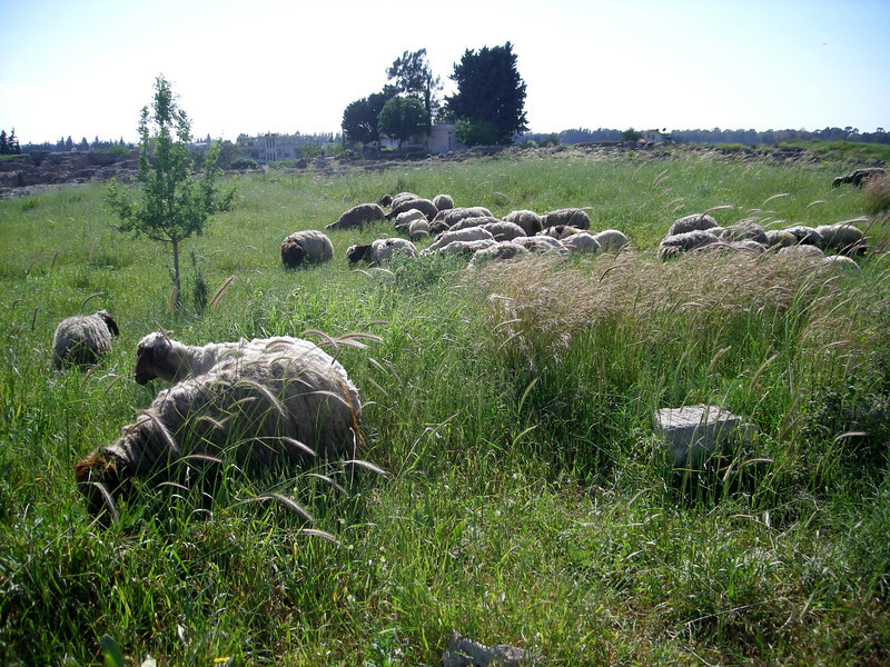sheep grazing at the ruins of Ugarit, Syria