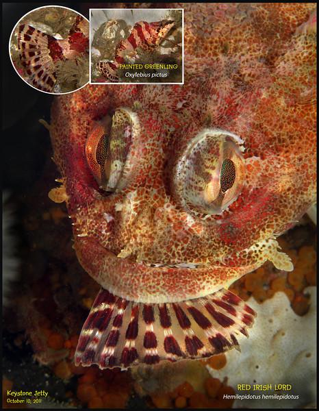 RED IRISH LORD( Hemilepidotus hemilepidotus ) eats PAINTED GREENLING( Oxylebius pictus ). Keystone Jetty, Whidbey Island. October 10, 2011