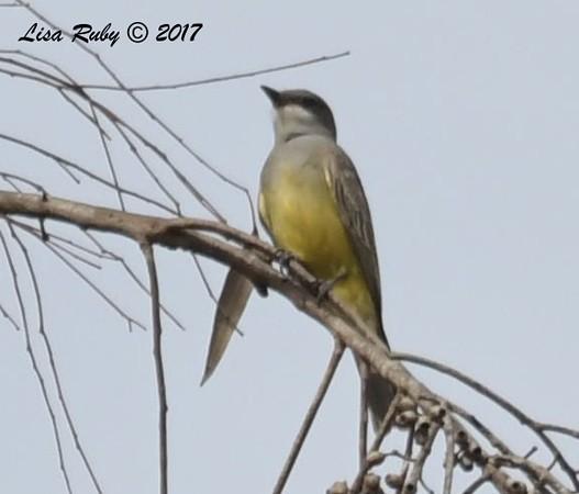 DSC_3555_Kingbird.jpg
