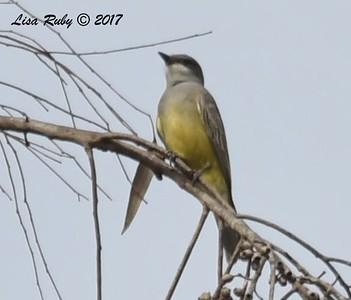 Kingbird, Balboa Park - 12/10/2017