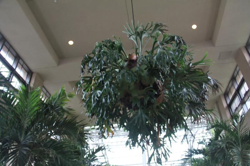 enormous staghorn fern