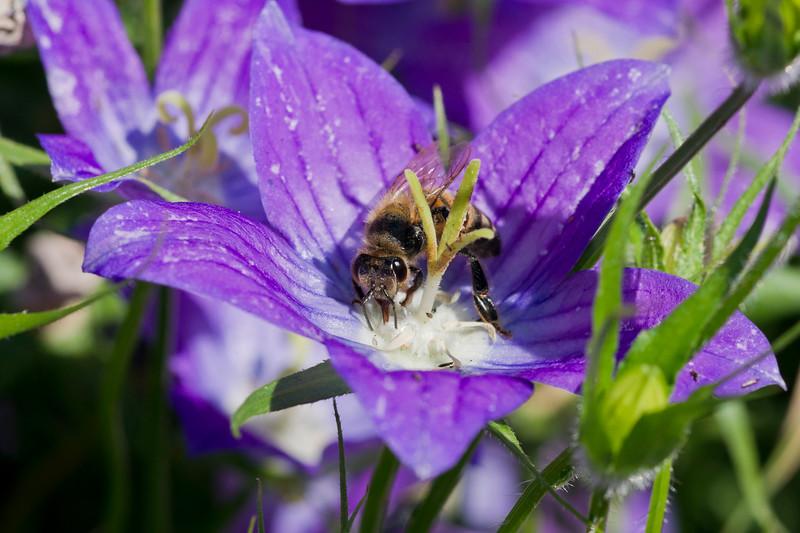 Honey Bee eating