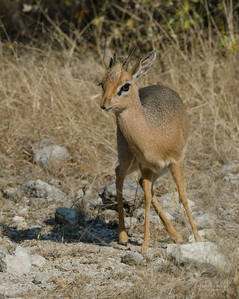 Damara Dikdik, Etosha NP, Namibia, July 2011-1.jpg