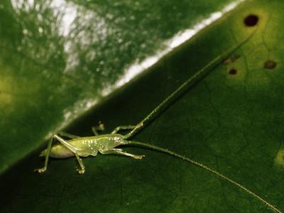 Banza sp. (Orthoptera-Tettigoniidae)