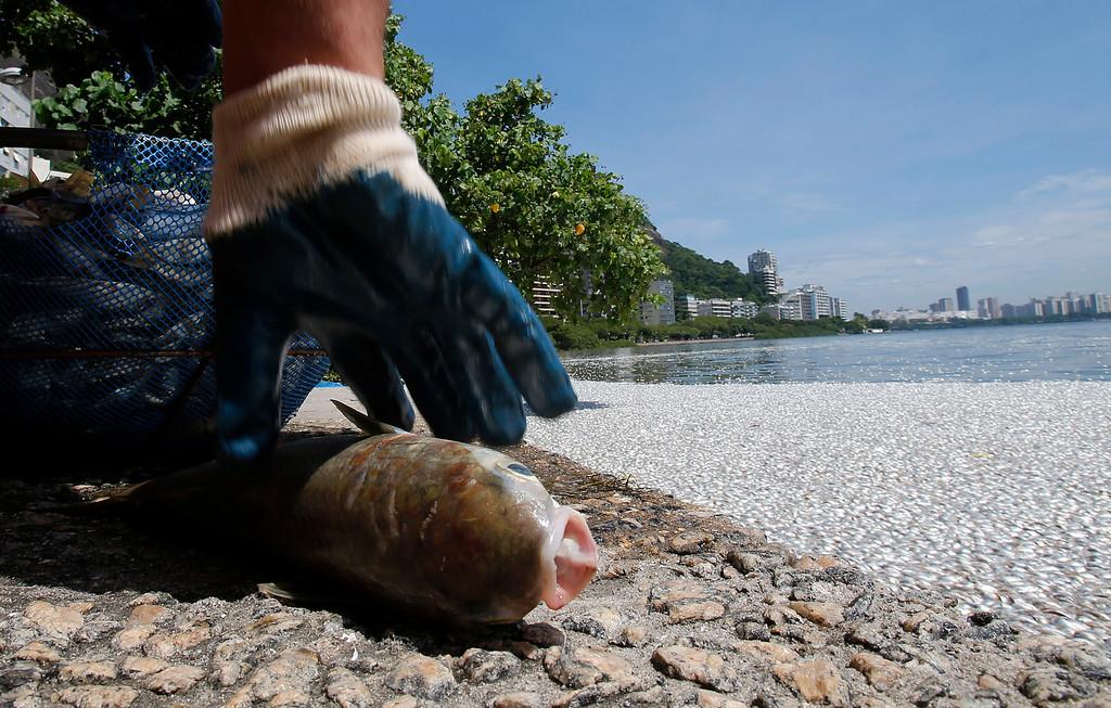 . A municipal worker collects a dead fish at the Rodrigo de Freitas lagoon in Rio de Janeiro, March 13, 2013.   REUTERS/Sergio Moraes