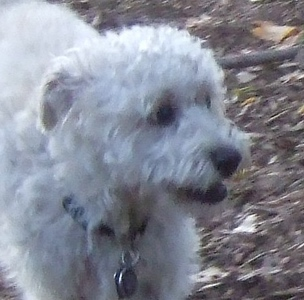 MICKEY (schnoodle)