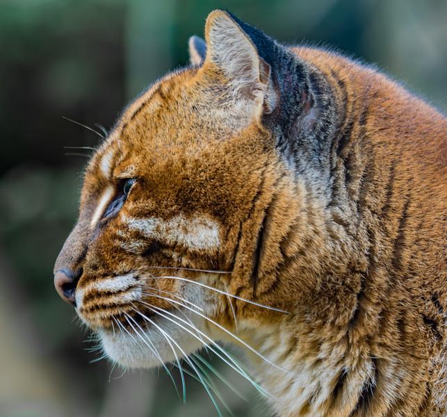 Temminck's Golden Cat