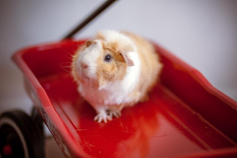 Ginea Pigs-17.jpg