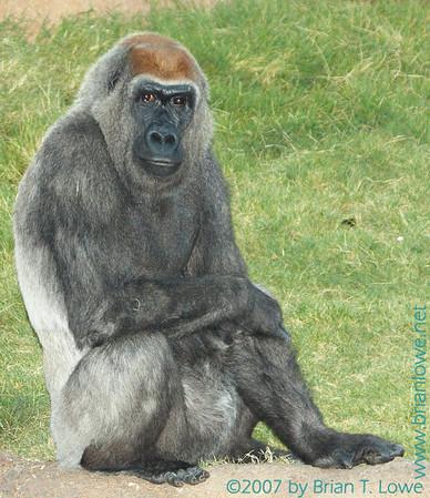 Gorillas at A Zoo
