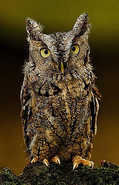 Bob Walling-Screch Owl.jpg