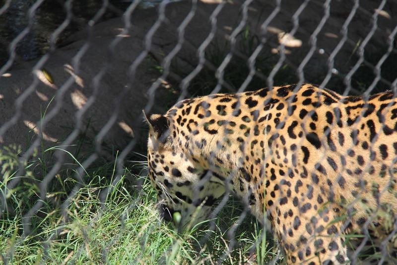 20170807-086 - San Diego Zoo - Leopard.JPG