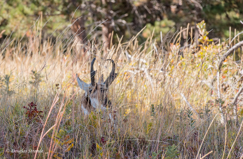 Pronghorn hiding in grass