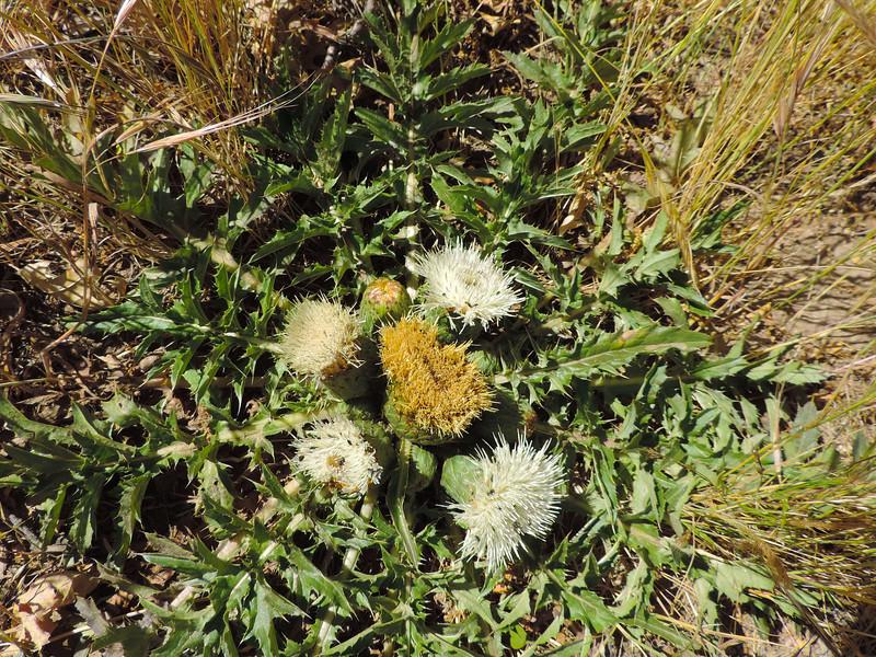 Bird's Nest Thistle (Cirsium scariosum) ASTERACEAE