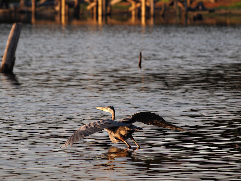 Take Off - Blue Heron - Lake Fork, Texas