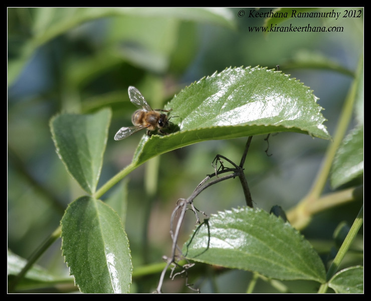 Honey bee, Lake Jennings, San Diego County, California, January 2012