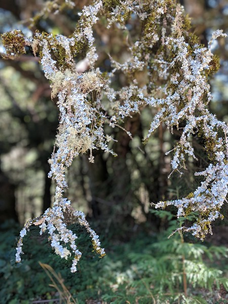 Lichen or Icicles