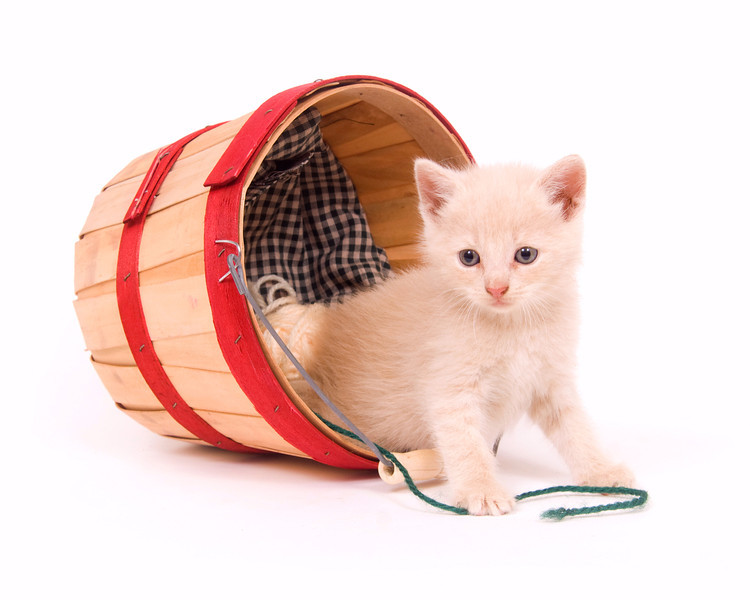 A yellow kitten plays in a produce countainer on white background