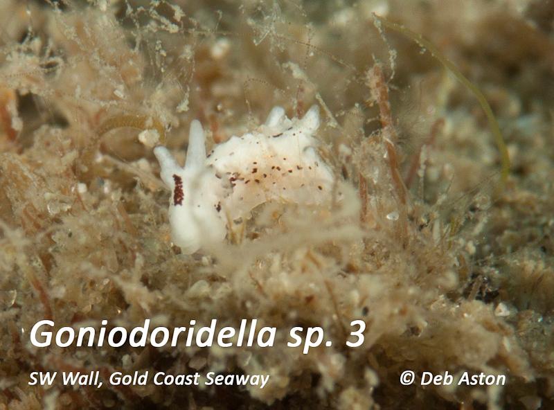 Goniodoridella sp. 3