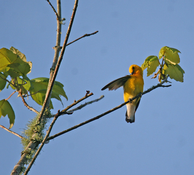 Prothonotary Warbler - Lake Fausse Point SP - St. Martinsville, LA
