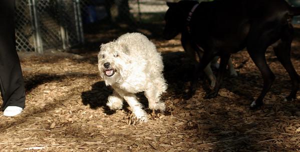 PICS JUNE 17::BAILEY (wheaton pup)
