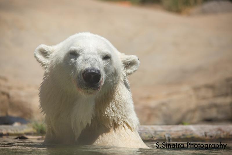 polar bear (30 of 50).jpg